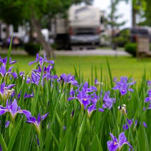 Irises-OSRVPark-1.jpg