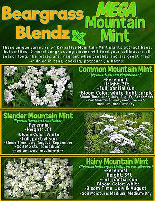 Mega Mountain Mint info sheet.jpg