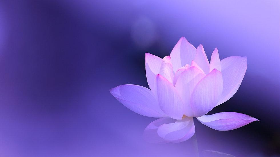 Pink-lotus-petals-purple-background-hazy