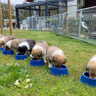 Essen und Wachstum  Die Welpen wachsen schnell und degustieren nach vier Wochen mit Begeisterung Hackfleisch. Schon in der fünften Woche gehört aufgeweichtes Trockenfutter mit Überraschungsbeilage zweimal täglich als Zusatznahrung zur Milchbar dazu.