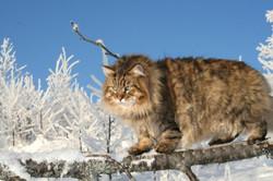 gatosiberiano (7)