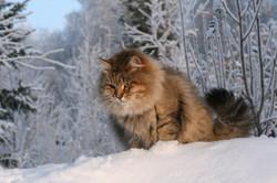 gatosiberiano (11)