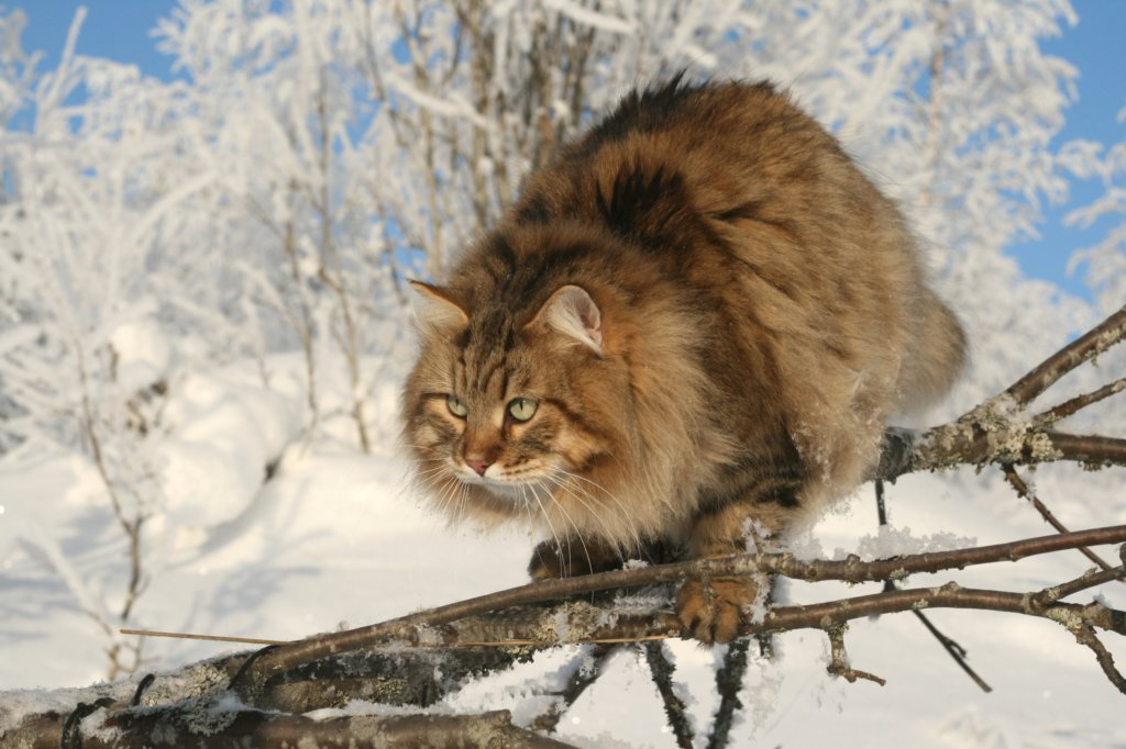 gatosiberiano (8)