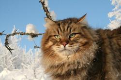 gatosiberiano (10)