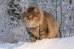 gatosiberiano (1)