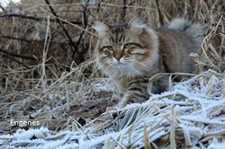 gatosiberiano (5)