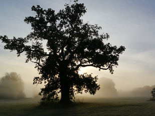 Young and Old Oak Trees at The Lighthous
