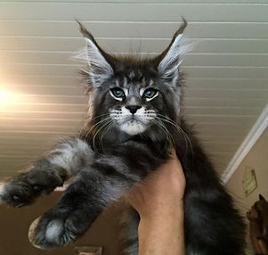 MaineCoon Keith Richard of Tree Hill