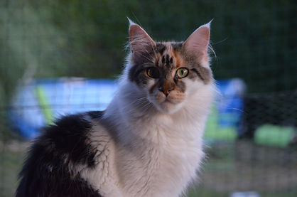 maine coon Summerplace Ry-Anna
