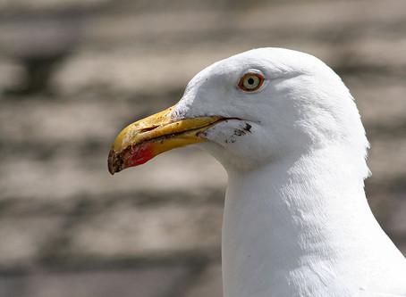Herring gulls: Villain or victim?