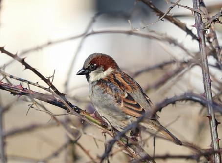 The secret lives of sparrows
