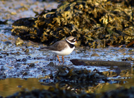 Sighting: Ringed Plover