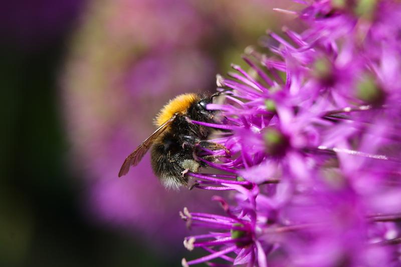 IMG_4094 - Tree Bumblebee