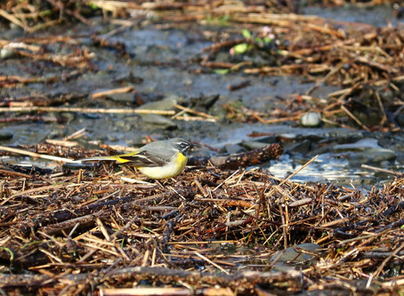 Sighting: Grey Wagtail