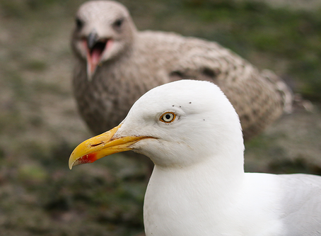 Young gulls