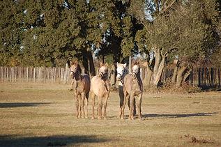 Elevage chevaux Camargue du Domaine de Maguelonne