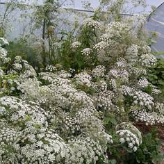 Fluffy white clouds of Ammi !_#fromseekingsflowerfarm _#fromthegarden _#locallygrownflowers _#wildatheart _#weddingflowers _#irishweddingflo
