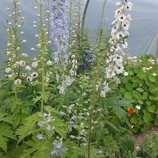 So love these delphinium _Pacific Giants_ I think were the seed variety...jpg