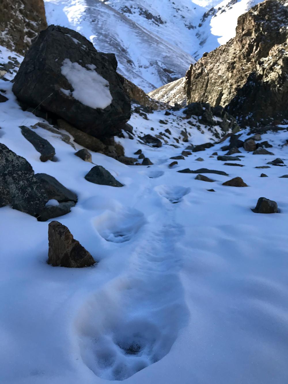 Fresh snow leopard tracks