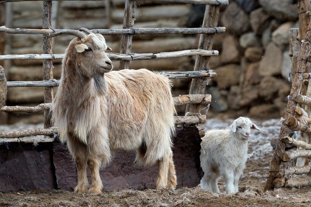 Cute culprit: the cashmere goat