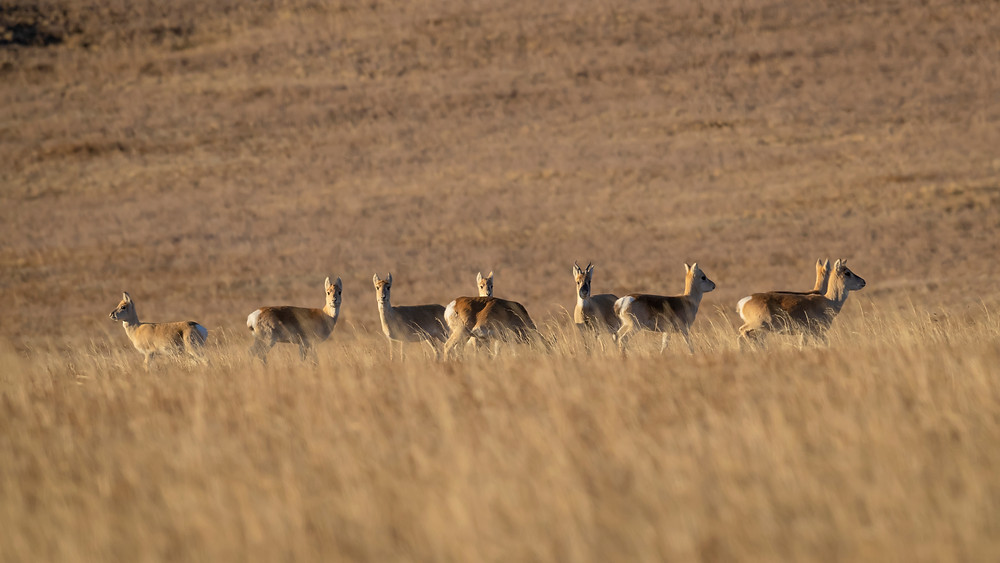 Mongolian gazelles - Hustai National Park