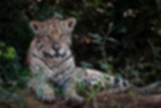 02 Jaguar (4).jpg