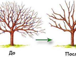 Санитарная обрезка плодовых деревьев