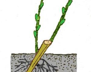 Размножение кустарников черенками