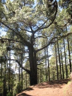В лесах Тенерифе