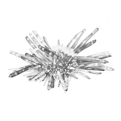 Heterocentrotus mamillatus (Slate pencil urchin) // Dikenli deniz kestanesi