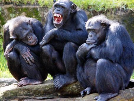 Как работает чувство справедливости. Сравниваем обезьян и людей.
