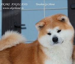 "Питомник Акита-Ину, Акита, Акари Анджелэнд, ""Akari Angeland""/ Tenshin Go Shirai"