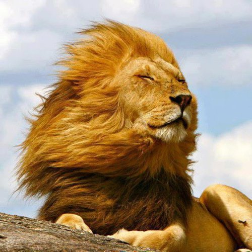 Lion in the wind