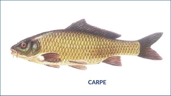 les poissons du la de Neuchâtel - la Carpe