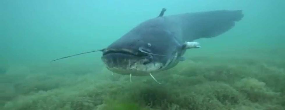 Silure (Wels Catfish) du lac de Neuchâtel