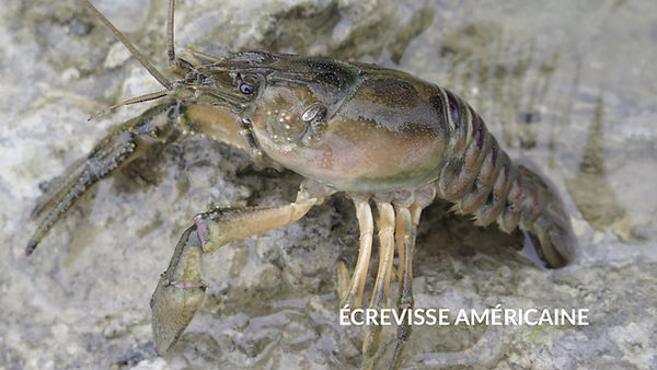 les poissons du la de Neuchâtel - L'écrevisse américaine