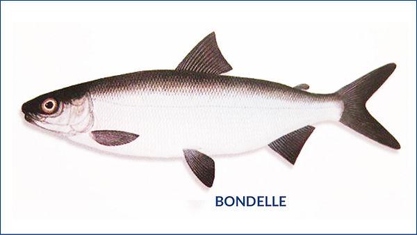 les poissons du la de Neuchâtel - la Bondelle