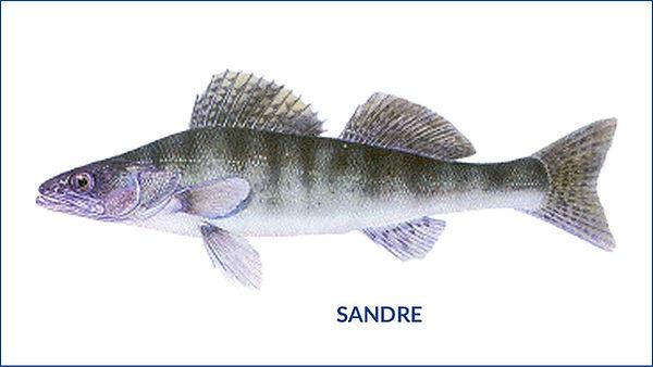 les poissons du la de Neuchâtel - le sandre