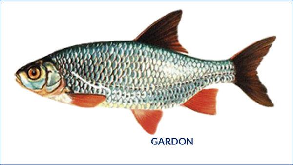 les poissons du la de Neuchâtel - le gardon