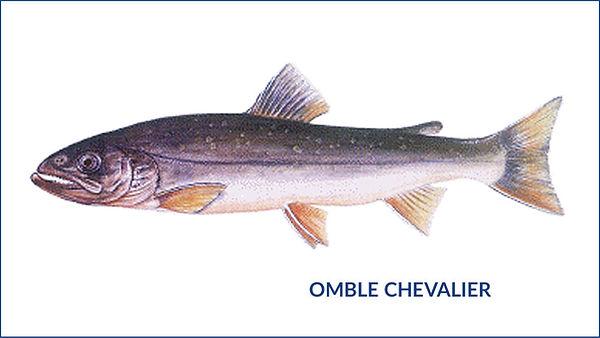 les poissons du la de Neuchâtel - Brochet