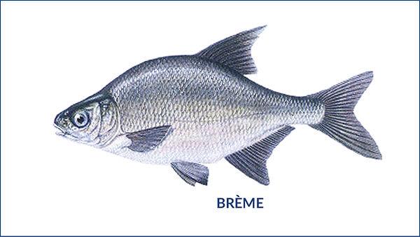 les poissons du la de Neuchâtel - la brème