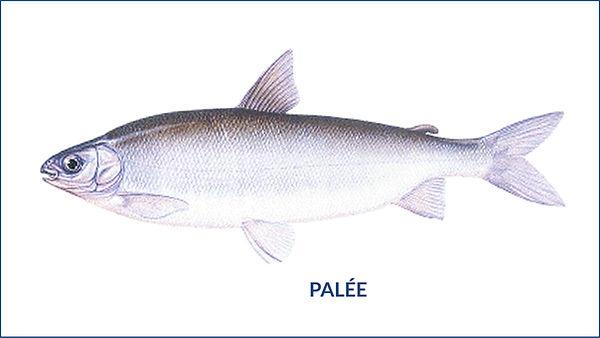 les poissons du la de Neuchâtel - La palée