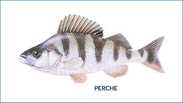 les poissons du la de Neuchâtel -  la perche
