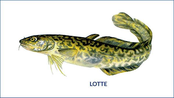 les poissons du la de Neuchâtel - la lotte