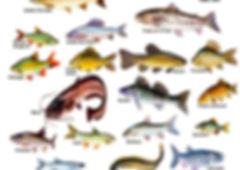 les poissons du la de Neuchâtel