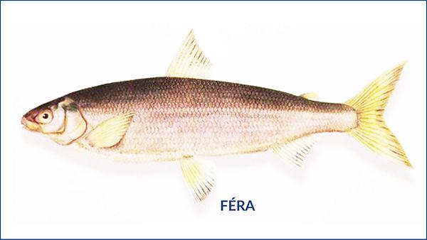 les poissons du la de Neuchâtel - Féra