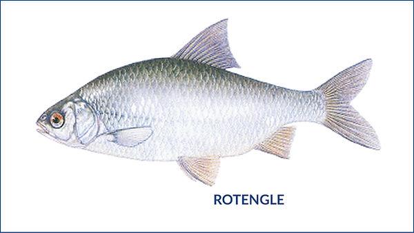 les poissons du la de Neuchâtel - Rotengle
