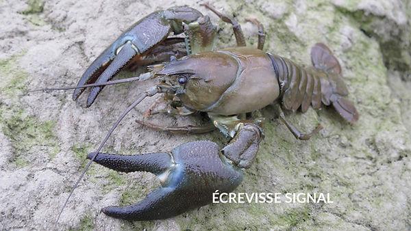 les poissons du la de Neuchâtel - L'écrevisse signal