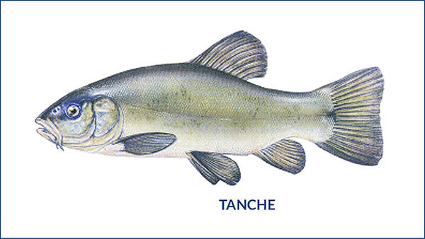 les poissons du la de Neuchâtel - la tanche