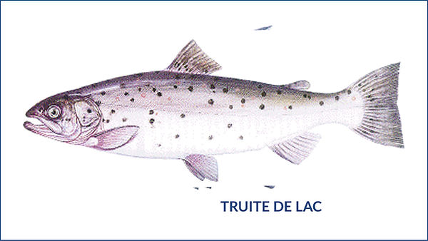 les poissons du la de Neuchâtel - La truite du lac